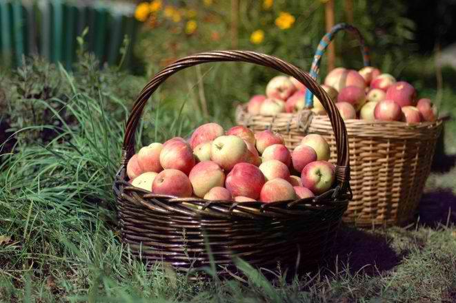 Kako da sačuvate jabuke tokom zime