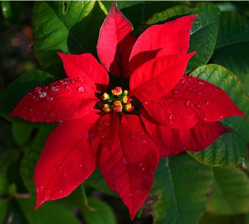 Božićna zvezda – duh praznika u domu!
