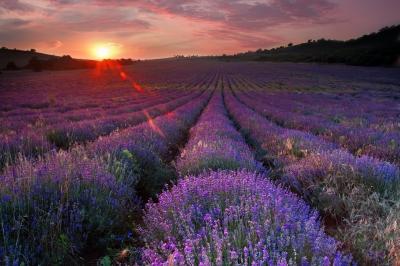 Lavanda, vanila, jasmin: Mirisi za sreću, lepotu i zdravlje