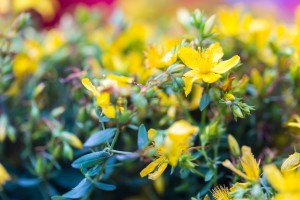 Beautiful flowers of St. John's wort. Wild flowers growing on meadow or fields. St. John's wort is herb used in alternative medicine or homeopathy