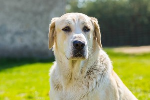 Big dog portrait. Face of animal on green outdoor background.
