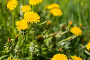 Beautiful blooming yellow dandelions flowers. Springtime meadow with many dandelions