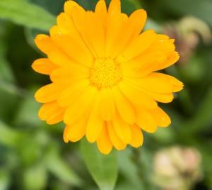 Marigolds blooming in garden. Close up of beautiful orange flowers. Marigolds is herb-flowers used in homeopathy.