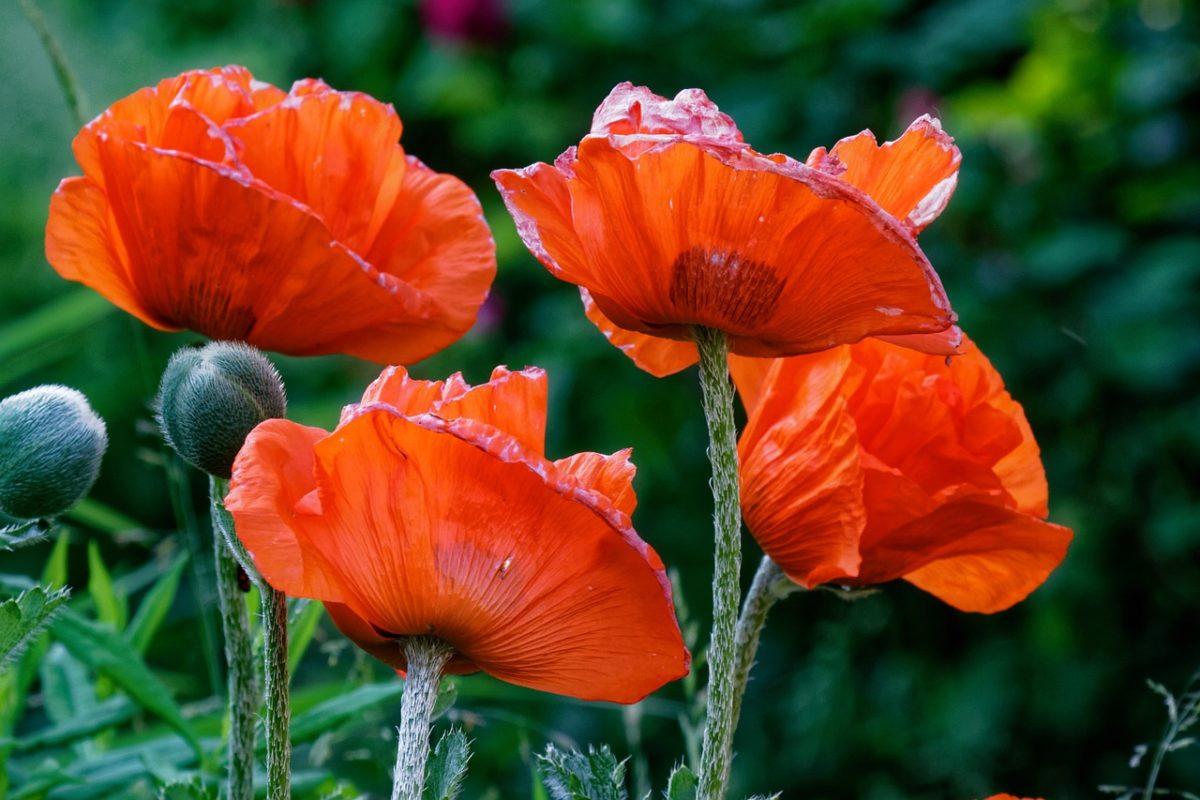 Mak – blagotvorno seme zdravlja
