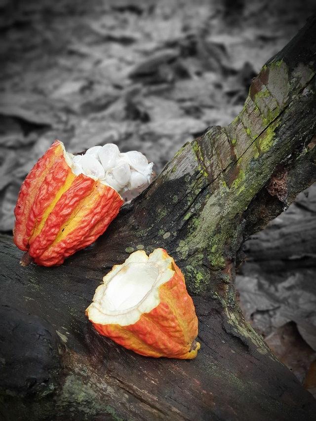 Kakao i susam – lek za krvnu sliku