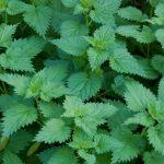 Ova biljka ima moć: Sva lekovita svojstva koprive