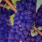Probajte ultraefikasnu dijetu sa grožđem