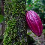 Probajte Nuestro kakao: Zašto je važno sačuvati izvorne sorte kakaoa?
