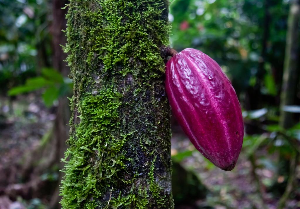 Zašto je važno sačuvati izvorne sorte kakaoa?