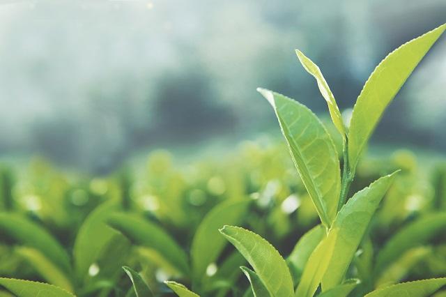 Zeleni čaj i još jedan napitak mogu vam produžiti život