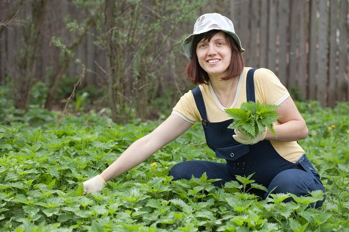 Lekovite biljke za bolju cirkulaciju: Kopriva je broj jedan