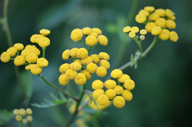 Smilje – biljka lepote, mladosti i dugovečnosti