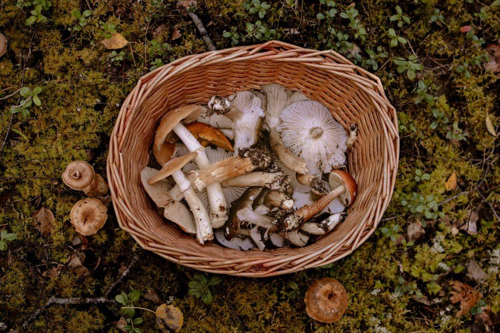 Gljive kao lek u savremenoj medicini